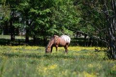 Пасти Appaloosa gelding стоковая фотография rf