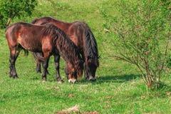 Пасти ferus Equus дикой лошади Стоковые Изображения