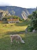 пасти llama Стоковая Фотография
