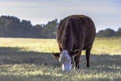 Пасти tarus быка коровы Стоковые Изображения RF