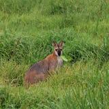 Пасти wallaby Стоковое фото RF