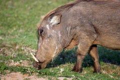 пасти warthog Стоковая Фотография