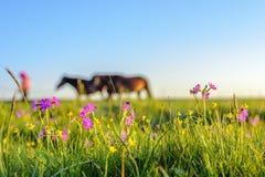 Пастухи привели лошадей идти на злаковики стоковые изображения