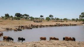 Пастухи Maasai приносят их скотин намочить около masai mara, Кении стоковые изображения