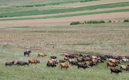 Пастух Georgia стоковое изображение