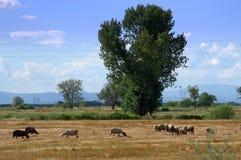 Пастырское пася поле овец Стоковые Изображения RF