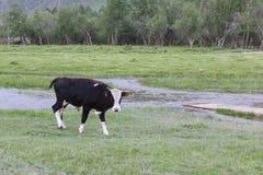 Пасут быка на речном береге Стоковые Изображения