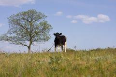 Пасут корову на луге Стоковая Фотография