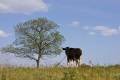 Пасут корову на луге Стоковая Фотография RF