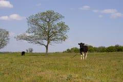 Пасут корову на луге Стоковые Фото