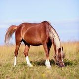 Пасут красную лошадь Стоковые Фотографии RF