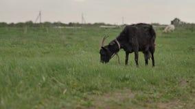 Пасут черную козу связанную к веревочке на зеленой лужайке в предпосылке белая коза акции видеоматериалы