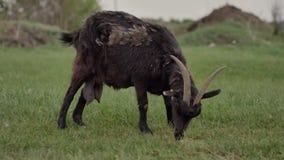 Пасут черную козу связанную к веревочке на зеленой лужайке в предпосылке белая коза видеоматериал