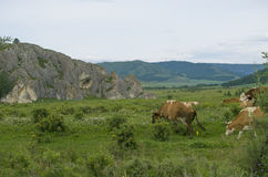 Пасут любимчиков коровы на луге около гор Стоковые Изображения RF