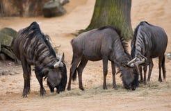 Пасущ или pasturing антилоп гну стоковое фото rf
