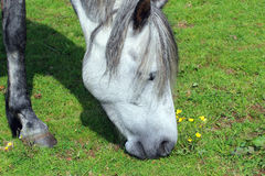 Пасущ конец лошади вверх Стоковое Изображение RF
