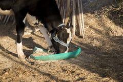 Пасущ коровы в амбаре глохнут в ферме Стоковое Изображение