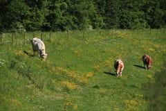 Пасущ коров в поле с зацветая лютиками и петрушкой коровы весной Стоковые Фотографии RF