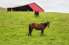 Пасущ лошадь и корову следующий t бард стоковое изображение rf