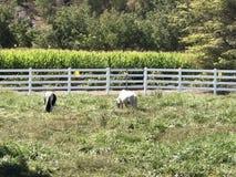 пасущ лошадей миниатюрных Стоковое Фото