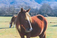 пасущ лошадь одичалую Стоковая Фотография