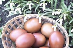 Пасхальные яйца в плетеной корзине и snowdrops Стоковое Изображение