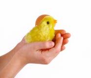 Пасха - ребенок держит цыпленка в его руках Стоковые Фото