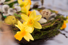 Пасхальные яйца в гнезде с narcissus Стоковая Фотография