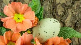 Пасхальные яйца на деревянных shavings с красным цветком Стоковое фото RF