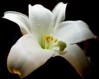 пасха lilly Стоковые Фотографии RF