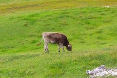 Пася корова, доломиты, Италия стоковые изображения
