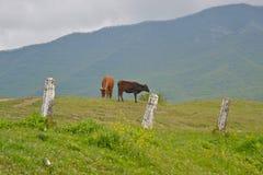 Пася коровы Стоковая Фотография