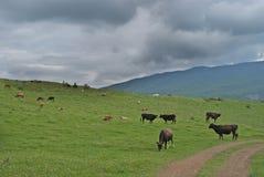 Пася коровы Стоковые Фотографии RF