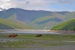 Пася коровы Стоковое фото RF