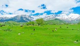 Пася коровы Стоковое Изображение RF