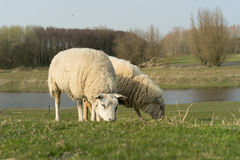 2 пася овцы Стоковая Фотография