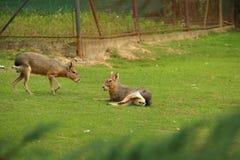 Патагонские maras (патагонский cavy, патагонские зайцы или dillaby) o Стоковые Изображения RF