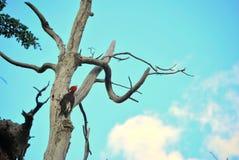 Патагонский woodpecker Стоковое Изображение