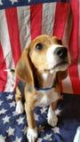 Патриотический щенок США стоковое изображение rf