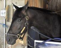 Патруль пляжа на гавани Saratoga лошади стоковые фотографии rf