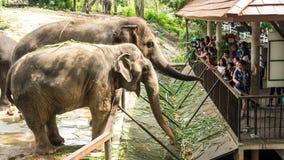 ПАТТАЙЯ, ТАИЛАНД - 14-ое октября 2017: Люди приходят к зоопарку кормить слонов, тайский слона в зоопарке иллюстративно стоковые изображения rf