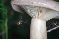 Пауки гриба леса Стоковая Фотография RF