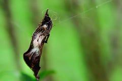 Пауки охотники которые могут создать их собственную ловушку стоковое изображение