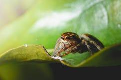 Пауки скача апельсин в природе в взгляде макроса Стоковое фото RF