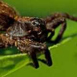 Паук волка, pulverulenta Alopecosa Крупный план головы Стоковые Изображения