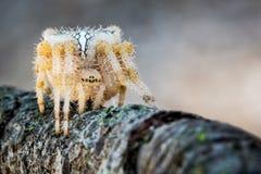 Паук в нападении ждать для того чтобы хищничать Стоковые Изображения RF