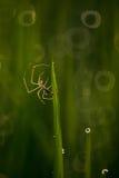 Паук в рисовых полях Стоковые Изображения