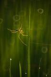 Паук в рисовых полях Стоковые Фото