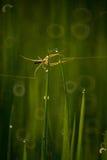 Паук в рисовых полях Стоковое Изображение RF