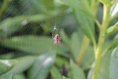 Паук в сети 3 Стоковые Изображения RF